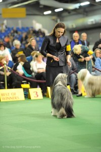 Scarlett in the Ring at Westminster 2015