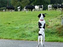 Danse avec les vaches