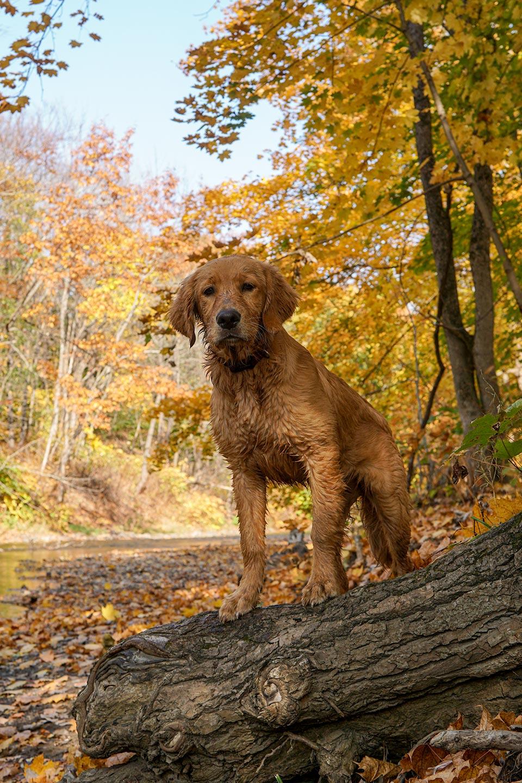 mocha moose golden puppy autumn leaves