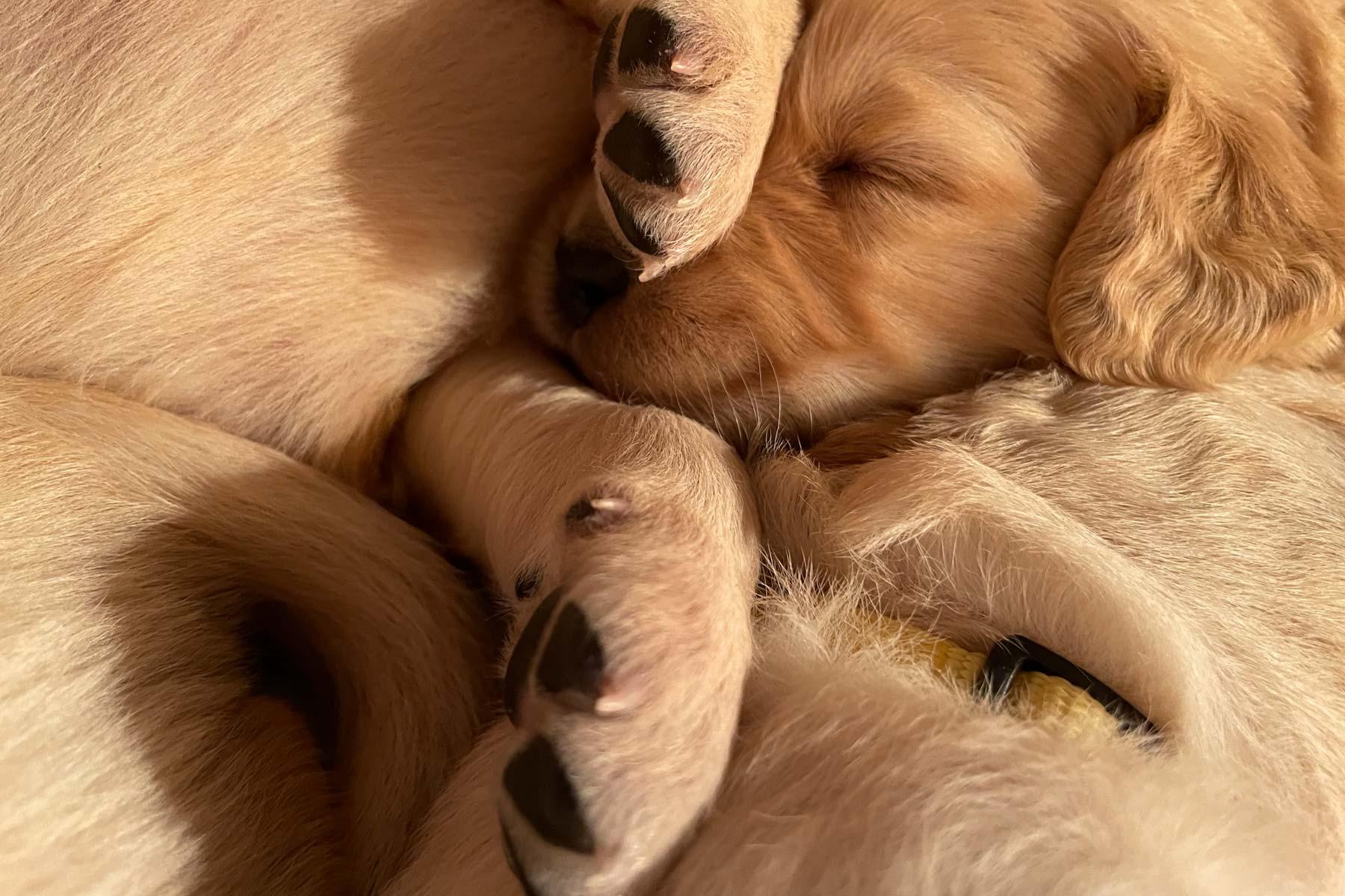 Moose Golden Retrievers Puppy Pile
