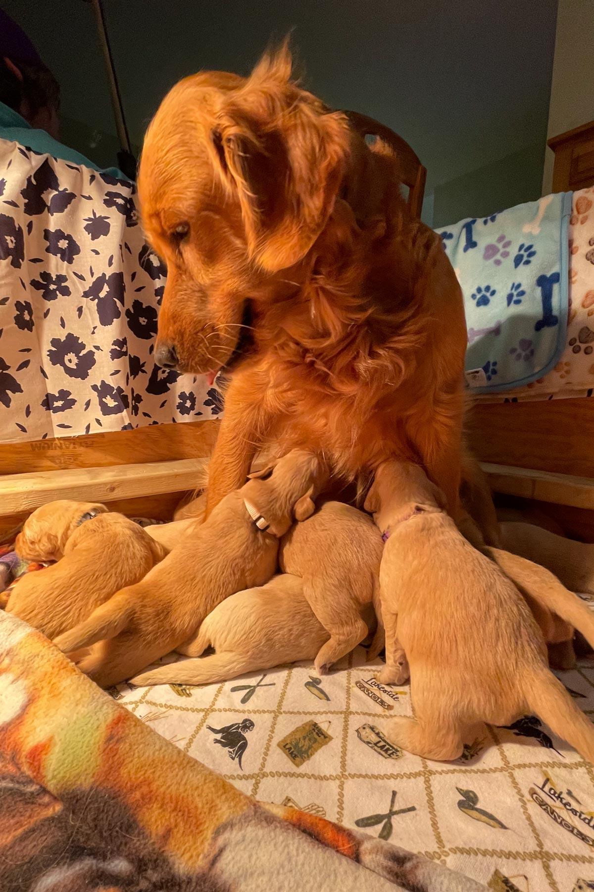 golden retriever puppies nursing by mike hosier
