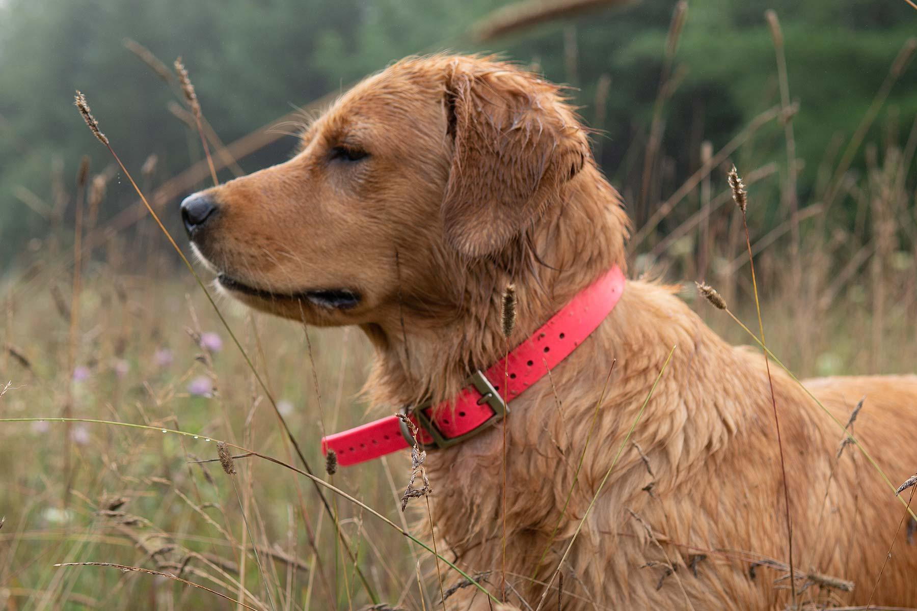 Maggie Moose Field Golden Breeder
