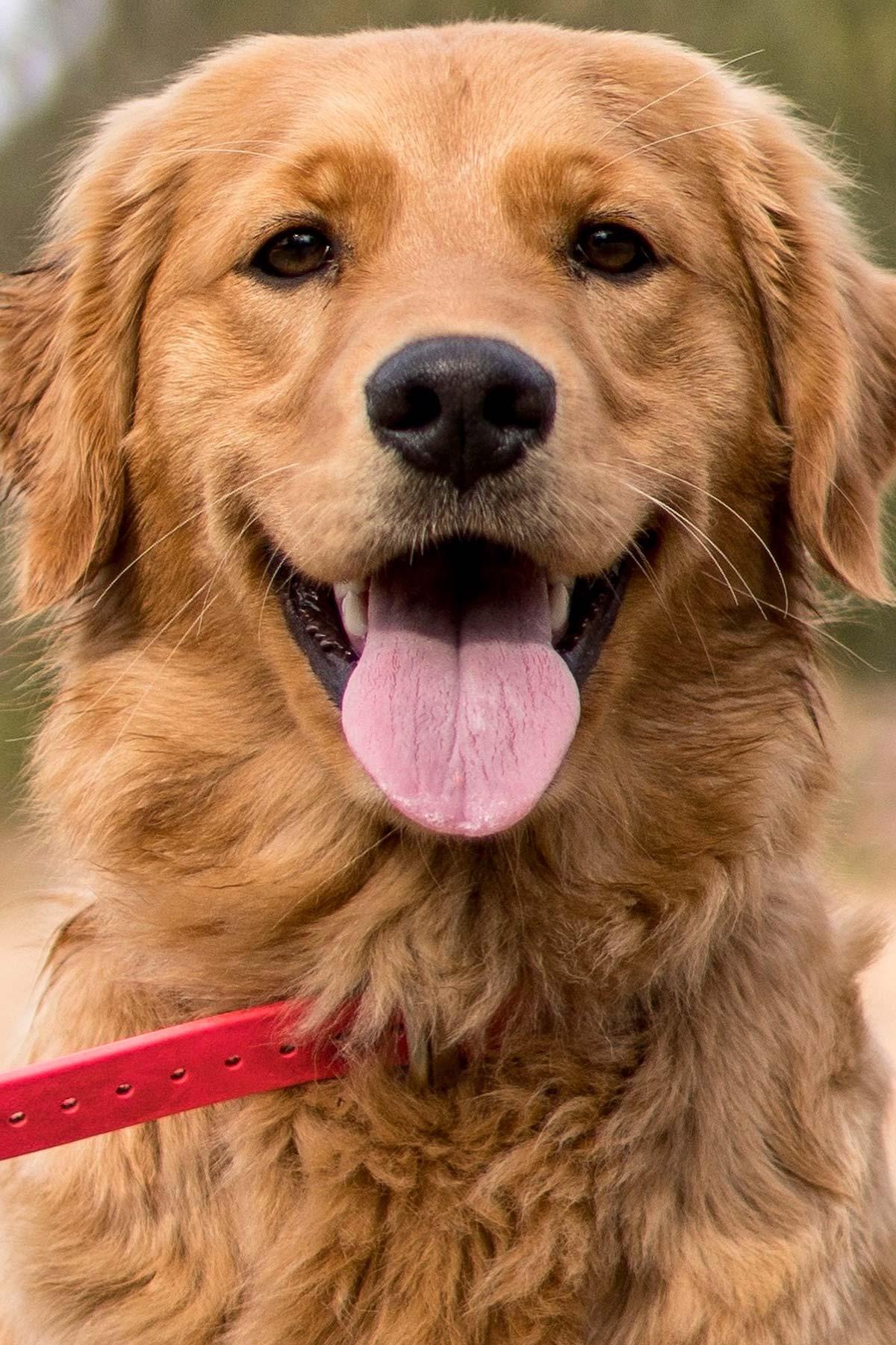 Maggie Moose Golden Retriever Smile