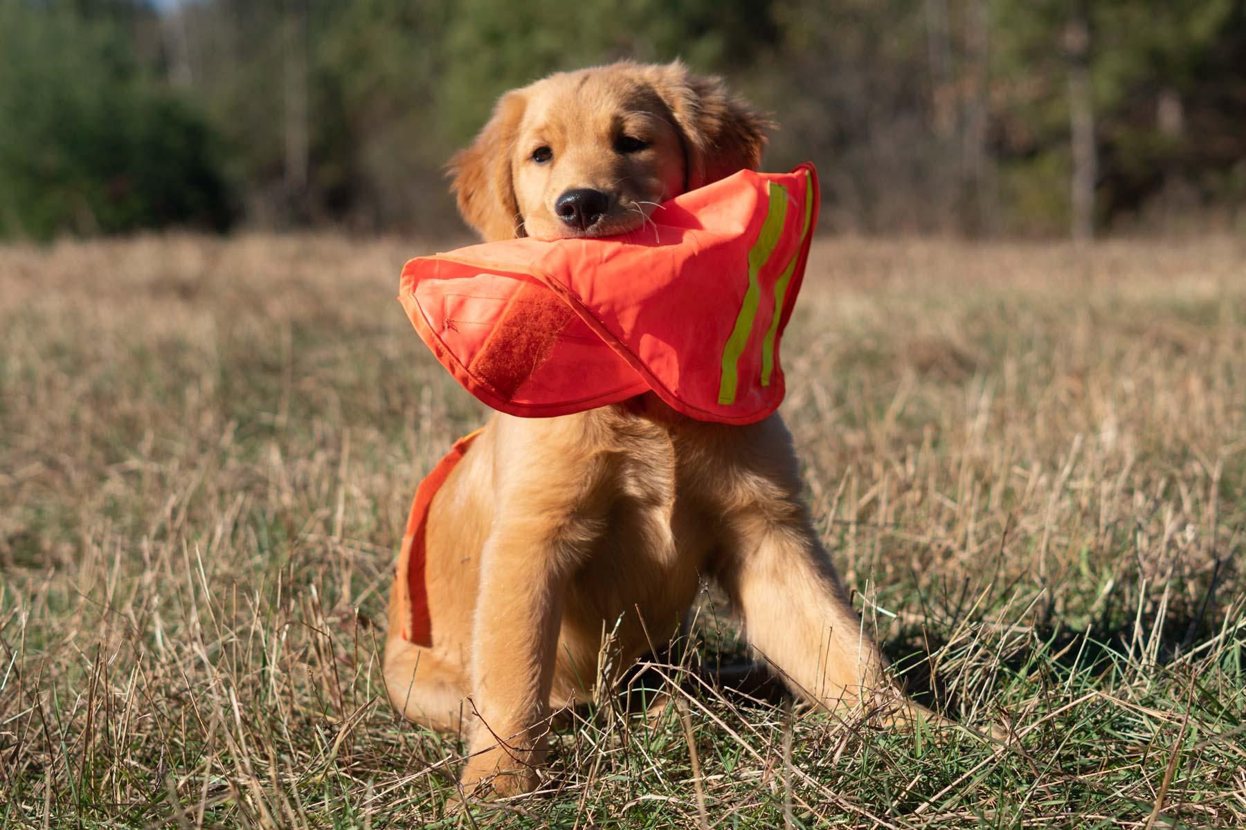 Maggie, mischievous golden puppy