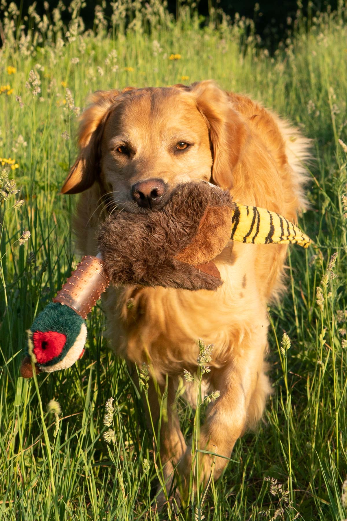 marty moose retrieving bird toy