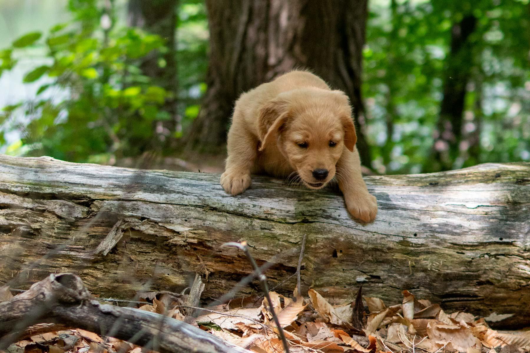 mocha moose puppy climbing a log