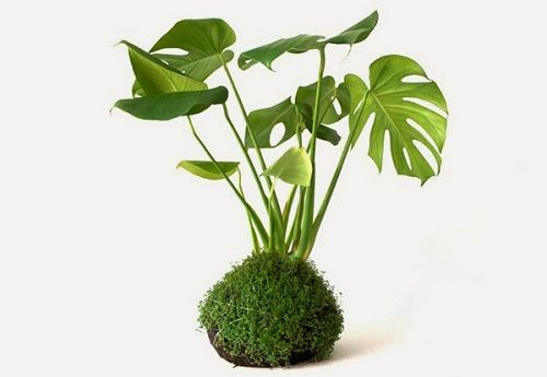 Kokedama planta
