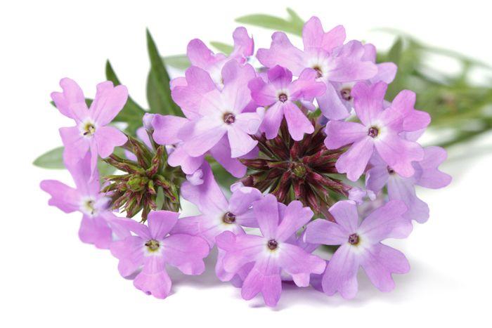flores moradas verano