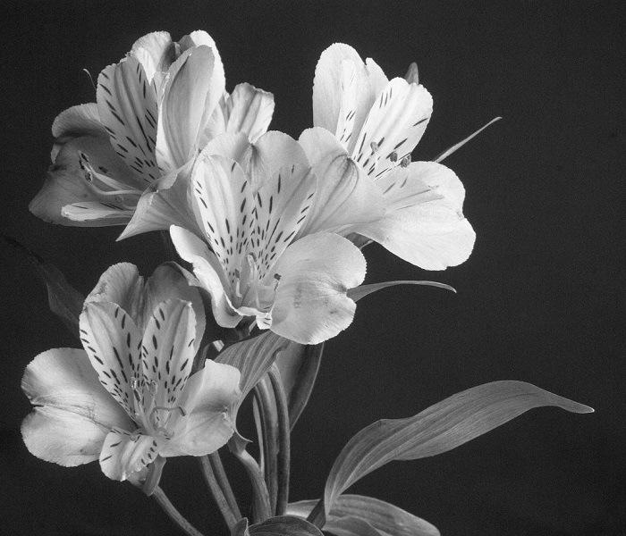 Imogen Cunningham Fotos a flores