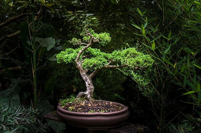 El arte milenario del bonsái en Prime Day de Amazon
