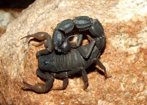 Black Thick-Tailed Scorpion