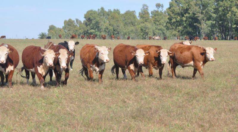 Desde el 15 de marzo comienza vacunación contra Fiebre Aftosa para todas las categorías bovinas