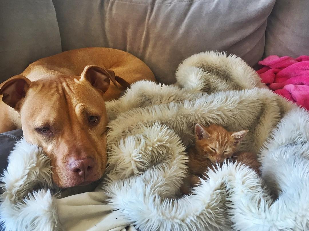 dog-likes-cats-ginger-pit-bull-bubba-loves-rue-2