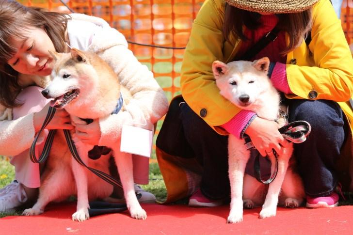 日本犬祭2018 モラキジドッグ モラキジフォト 柴犬 秋田犬 紀州犬 甲斐犬 北海道犬 スピッツ 狆 犬写真 犬画像