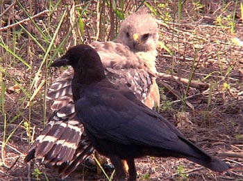 Blind Imitation is Bad - Crow Imitating Hawk Short Moral Stories English