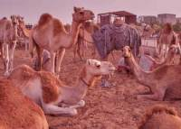 Problems in Life Story - Hundred Camels Deep Meaning Motivational Story