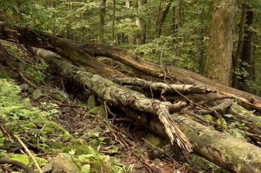 Suťové lesy pod Kelečským Javorníkem (SLT 5J1 - Suťová (jilmojasanová) javořina.