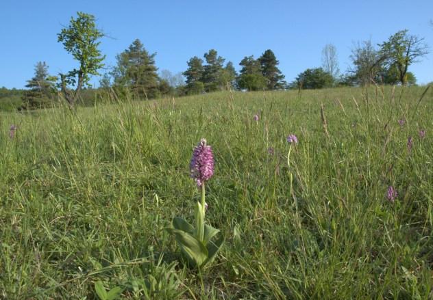 Vstavač mužský (Orchis mascula L.) v NPR Strabišov-Oulehla, lokalita: Lísky, Bučovická pahorkatina, PLO 36.