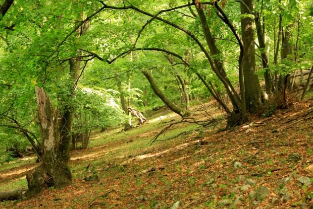Společenstva lipových javořin na sutích (lokalita: severní svah Děvína, Pavlovské vrchy, PLO 35)