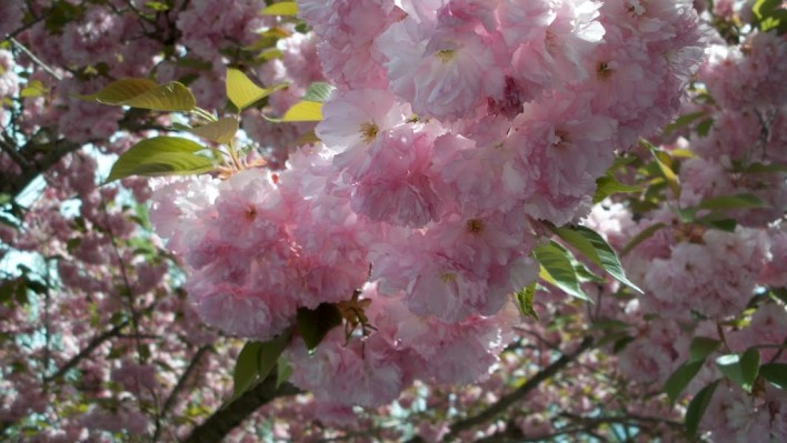 pink tree blossoms