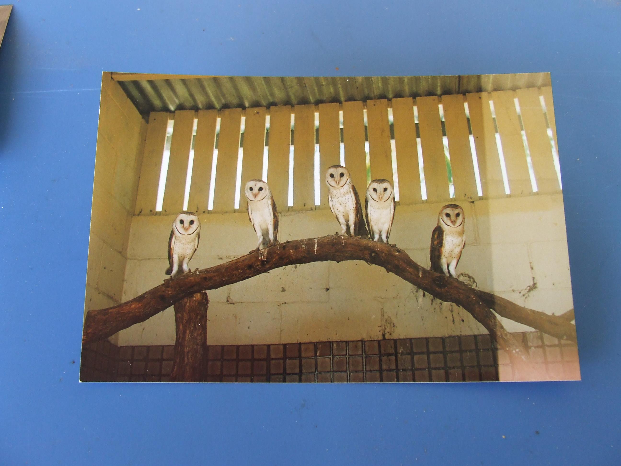 5 barn owls at jim's