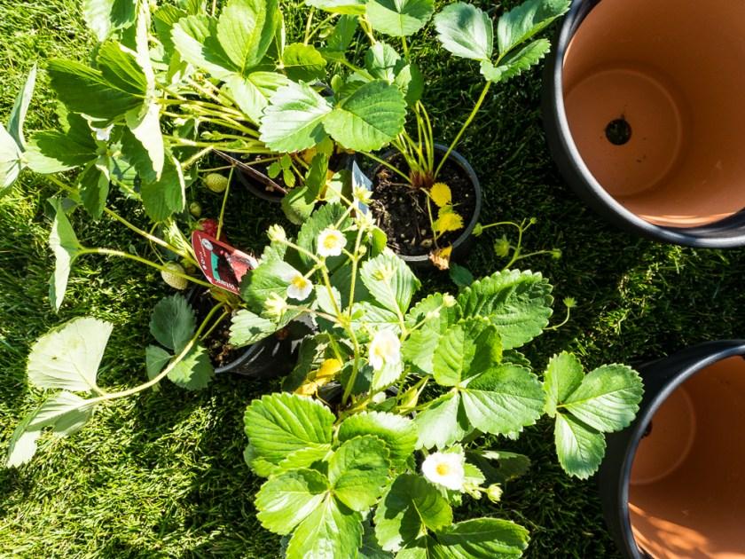 Tontöpfe-Tafellack-Erdbeerpflanzen
