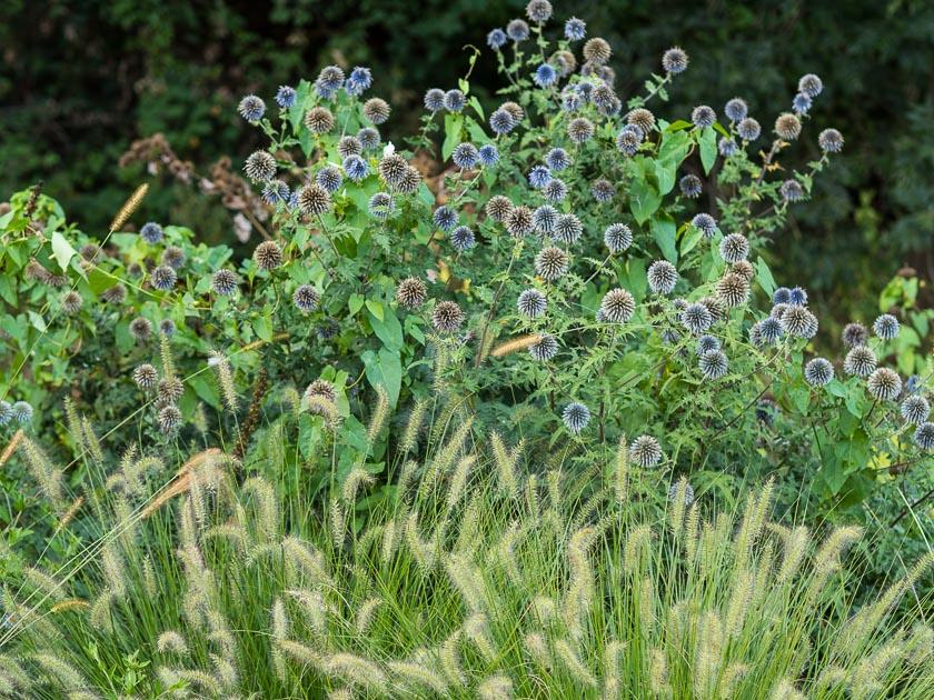 Gartenträume für Familien_Gräser und Disteln