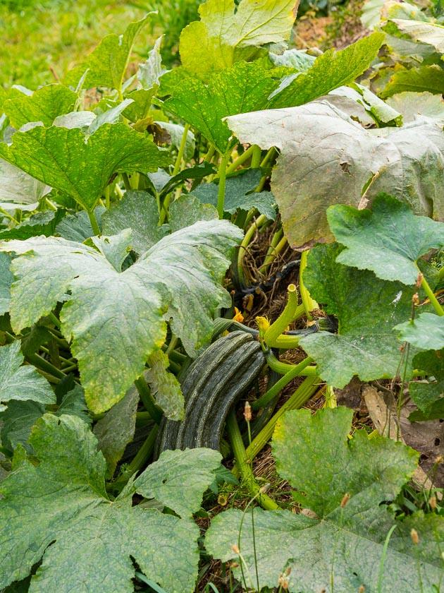 Landlofts von Sonnentor_Zucchinipflanze