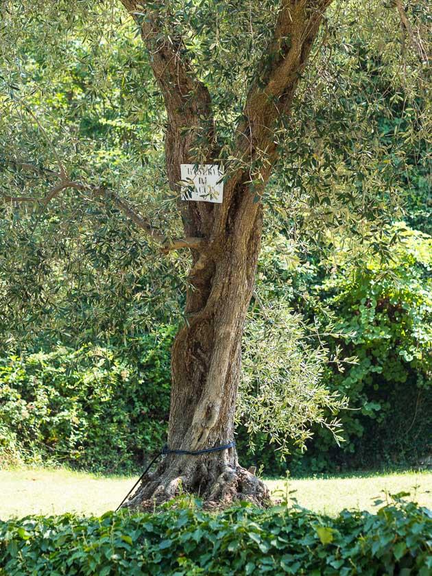 Urlaub am Gardasee mit Kindern_Olivenbaum