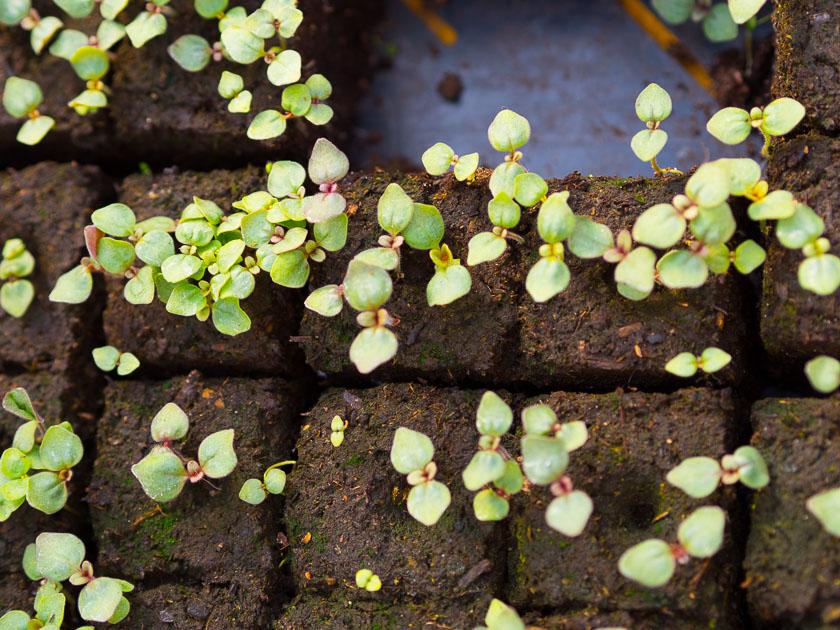 Familien-Küchengarten_Gemüse anpflanzen