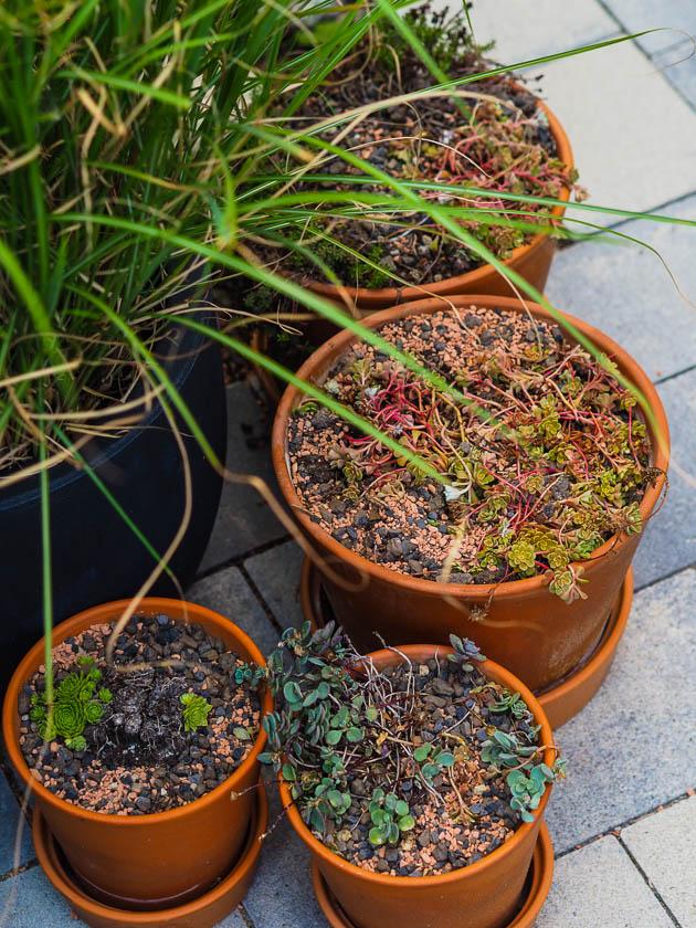 Familiengarten für Faule_Hauswurz