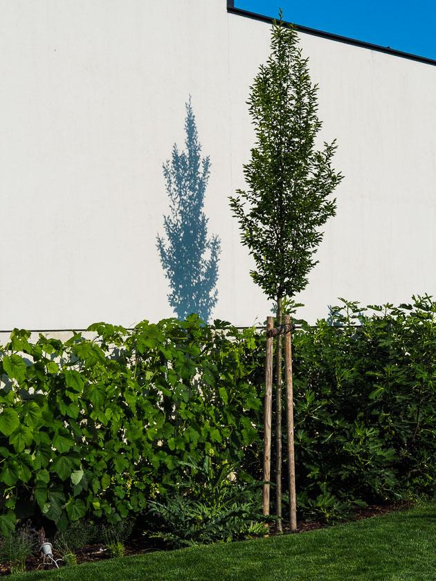 "Familiengarten für ""Faule""_Hainbuche"
