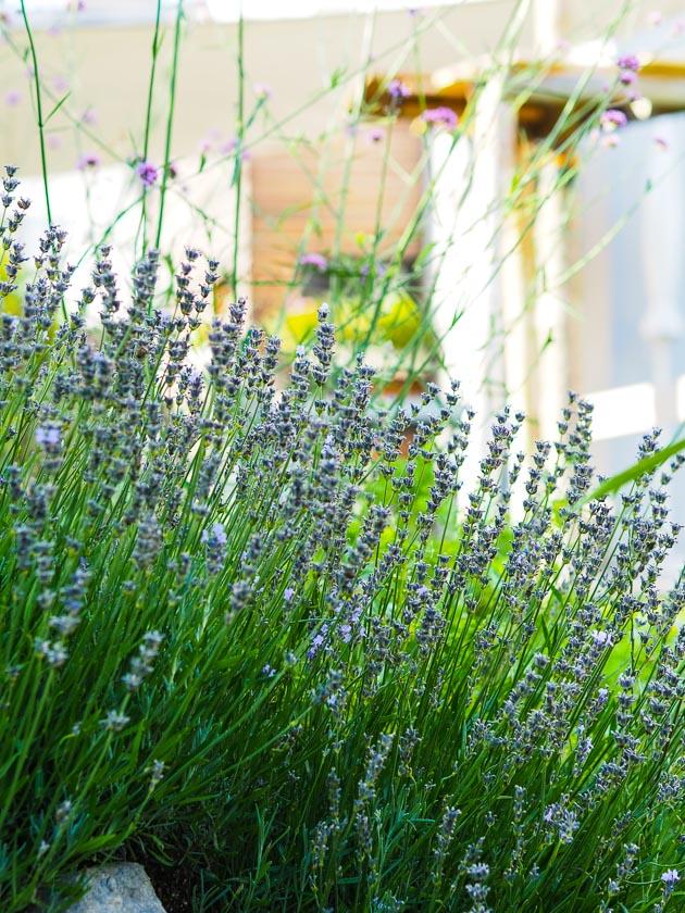 Familiengarten für Faule_Lavendel