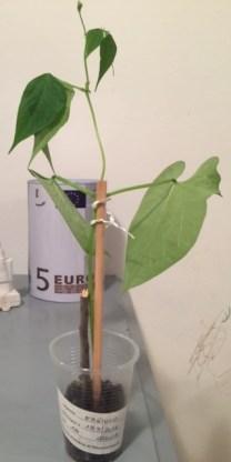 """Progetto """"Coltiva una pianta e passaparola"""": piantina di fagiolo di Giulia, scuola primaria di Mezzolombardo, regalata ad Andrea"""