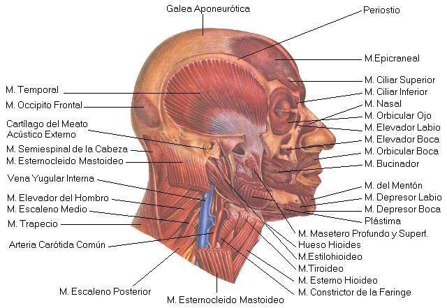 Imagen de músculos faciales relacionados con la boca Que relacionan estética facial y boca