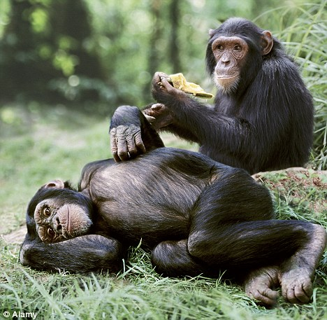 chimps sharing food