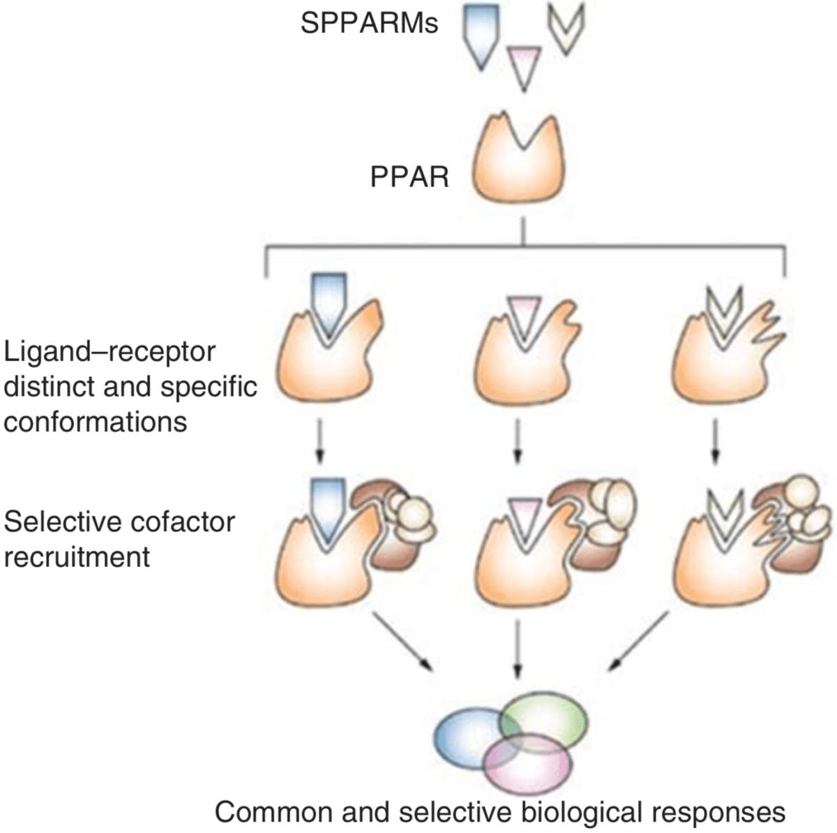 Cardarine Mechanism Of Action