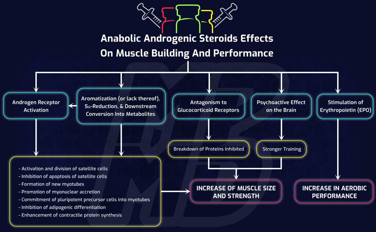 The Pathways That Anabolic Androgenic Steroids Improve Muscle And Performance Through MorePlatesMoreDates.com