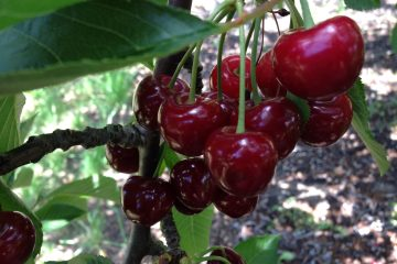 Klondyke Cherry Farm Cherries