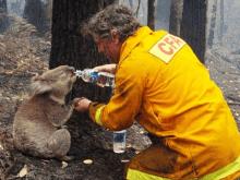 koala-saves-from-brush-fire