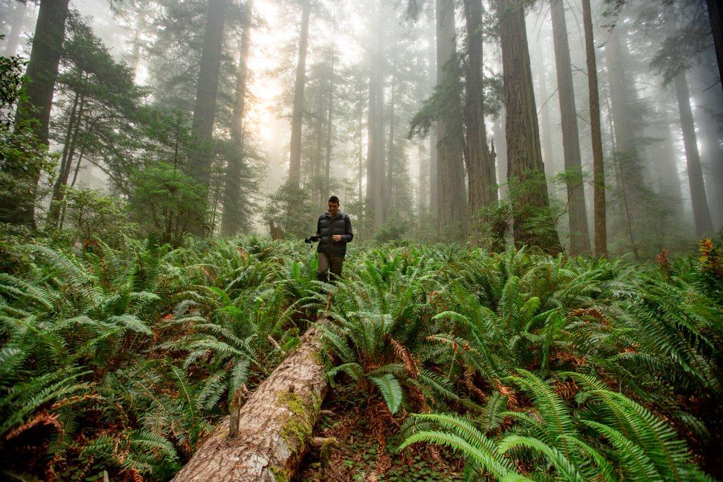 redwood in winter