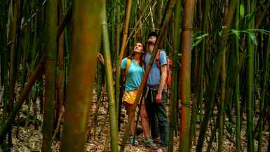bamboo forest haleakala national park maui, hawaii