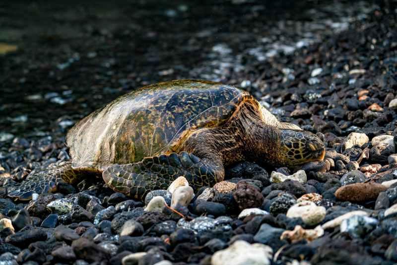 Sea Turtle in Haleakala National Park
