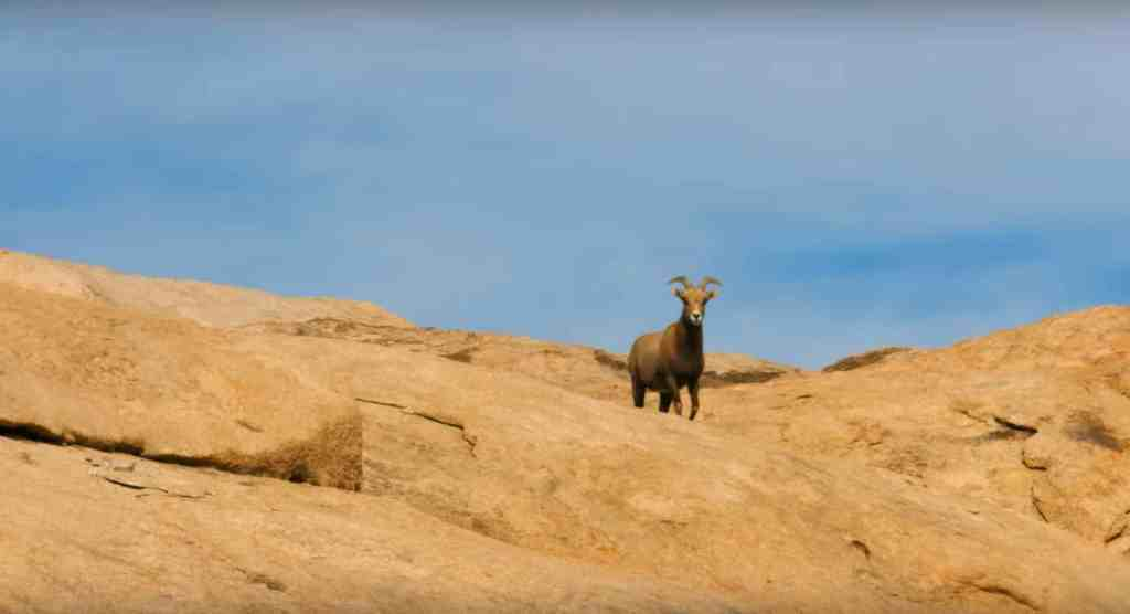 bighorn sheep barker dam joshua tree national park