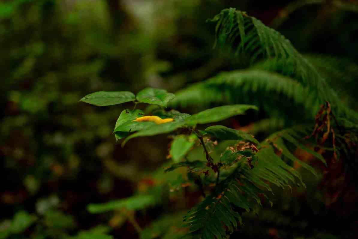 banana slug redwood national park