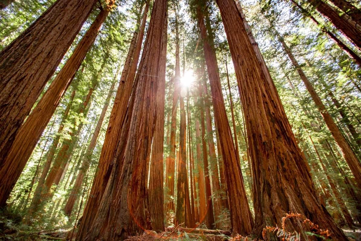 redwood national park, humboldt redwoods, avenue of the giatns