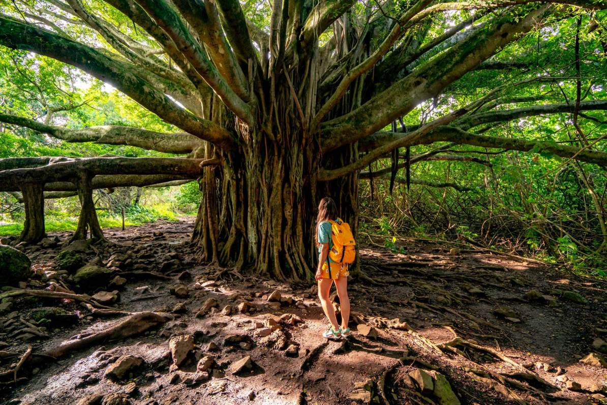 haleakala banyan tree