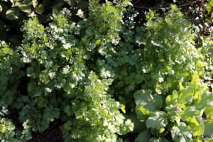 The Seedy Side of Cilantro: Saving Cilantro Before it Seeds
