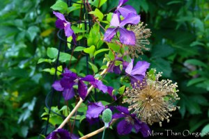 Clematis with Allium stalks