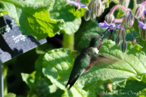 Hummingbirds Buzz on Borage Too!